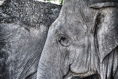 Elephant face in hdr Royalty Free Stock Photo
