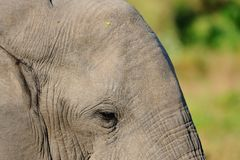 Elephant Face. I like this photo that shows the details of an elephants face Stock Photography
