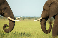 Elephant Face Off. Two bull elephants with tusks  confront each other in Kruger Park Royalty Free Stock Image