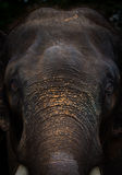 Elephant face Portrait. In the background Royalty Free Stock Photo