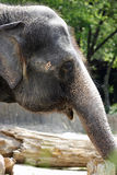 Elephant. Face in the zoo Stock Photo