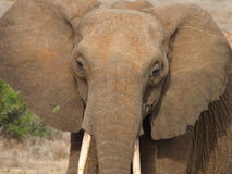 Elephant facial Stock Images