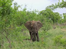 Elephant facing the camera in Kruger National Park royalty free stock images