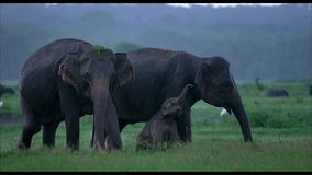 Family of elephants female male and the baby