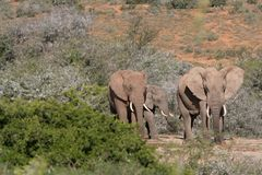 Elephant Family. Deep in the african bush Stock Photo