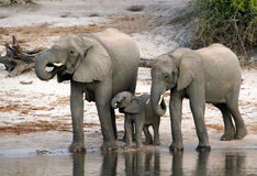 Elephant family Stock Photos