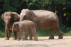Elephant family Stock Images