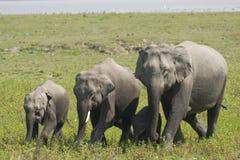Elephant Family Royalty Free Stock Photography
