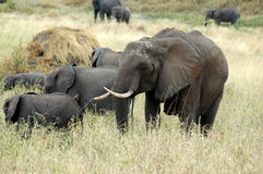 Elephant family. From Serengeti Tanzania Royalty Free Stock Images