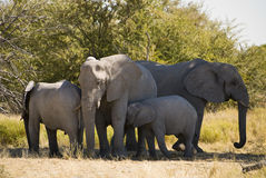 Free Elephant Family Royalty Free Stock Image - 15591486