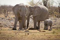 Elephant family. Wild Elephant family, Safari Etosha, Namibia Africa Royalty Free Stock Photo
