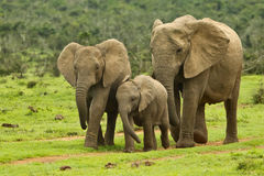 Elephant family. Small elephant walking towards a water hole Stock Images