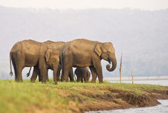 Elephant family. Shot on the banks of Kabini river, thius family is seen with a calf Royalty Free Stock Photo