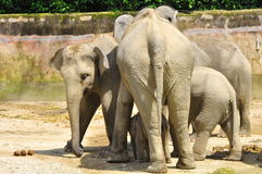 Elephant family. Bonding together with each other Stock Photography