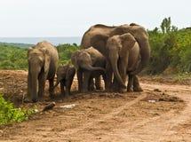 Elephant Family Royalty Free Stock Images