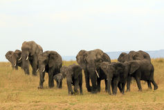 Elephant Family. African Elephant Family (Loxodonta Africana) Approaching on Savannah, Serengeti, Tanzania Stock Photo