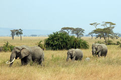Elephant Family. (Loxodonta Africana) Walking, Serengeti, Tanzania Royalty Free Stock Photography