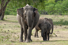 An elephant family Stock Photography