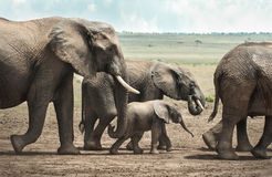 Elephant Family. A family group of Elephants including a baby walk in line in the Masai Mara Stock Images