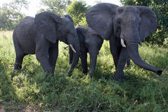 Elephant Family. Grazing in grassland Royalty Free Stock Photo