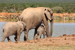 Elephant family. Walking to have a drink at a waterhole Stock Images