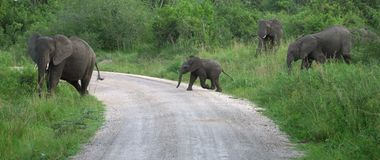 Elephant family in Africa Royalty Free Stock Photo