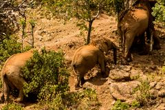Elephant family in Africa wild nature life. Of savana on dry grass at safari game wild nature national parks of Kenya and Tanzania royalty free stock photography
