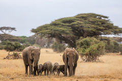 Elephant family in Amboseli. Elephant family in the morning in Amboseli National Park stock photos