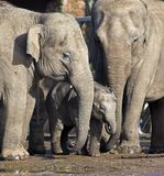 Elephant family with baby Royalty Free Stock Photos