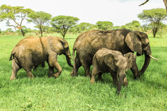 Elephants family. Elephant family with baby - Tarangire National Park Tanzania on green grass savanna, Tanzania Stock Photography