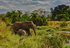 Elephant family and Black-headed Heron near a small pool of water in the Serengeti stock photography