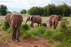 A elephant family in the bush of the samburu national park. The elephant family in the bush of the samburu national park royalty free stock photo