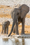 Elephant family with calf at waterhole Stock Images