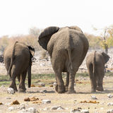 Elephant family with calf at waterhole Royalty Free Stock Images