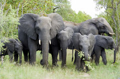 Elephant family standing together, huge bull, baby, babies, mother, South Africa Royalty Free Stock Photo