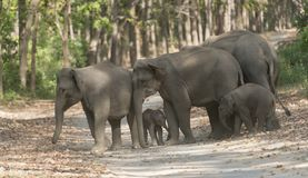 Elephant Family crossing the main road.  Royalty Free Stock Images