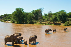 Elephant family crossing the river. Elephant family crossing the brown river Royalty Free Stock Images