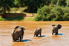 Elephant family crossing the river. Elephant family crossing the brown river Royalty Free Stock Photo