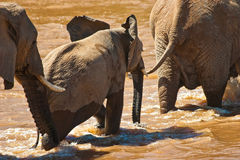 Elephant family crossing the river. Elephant family crossing the brown river Royalty Free Stock Photography