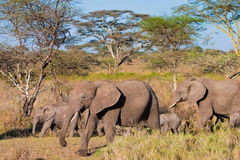 Elephant family crossing the river. Elephant family crossing the brown river Stock Photography