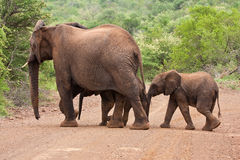 Elephant family crossing the road. Protection trees stock image