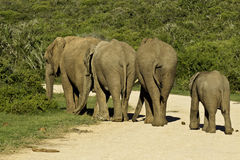 Elephant family crossing the road Royalty Free Stock Images