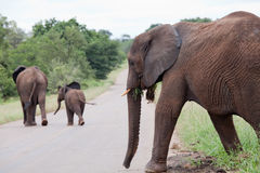 Elephant family is crossing the road Royalty Free Stock Image