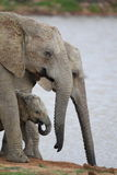 Elephant family drinking Royalty Free Stock Photography