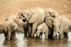 Elephant family drinking Royalty Free Stock Image