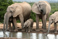Elephant Family Drinking Royalty Free Stock Photos
