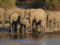 Elephant family. Drinking from Chobe River just before sunset Stock Photography