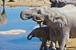 Elephant family drinking Stock Photo