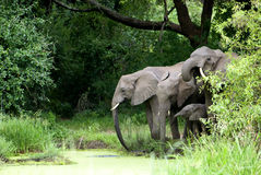Elephant Family drinking Water Royalty Free Stock Images