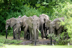 Elephant Family drinking Water Stock Image